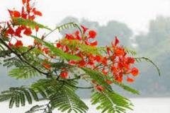 Il-fiore-chiamato-Flamboyang
